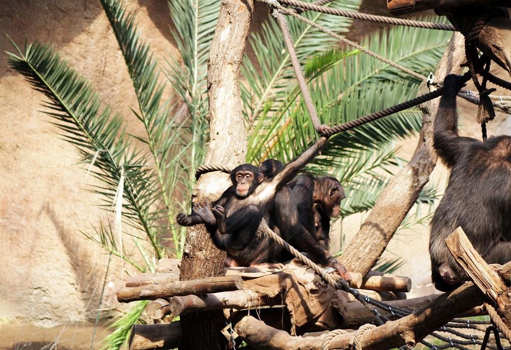 26_Schimpansen in Pongoland  Zoo Leipzig