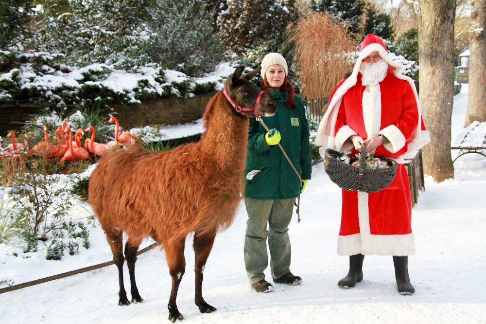 Lama Horst und Nikolaus im Einsatz  im Zoo Leipzig