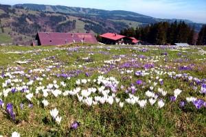 Krokusblüten auf der Alpsee Bergwelt (c) Alpsee Bergwelt GmbH & Co.KG
